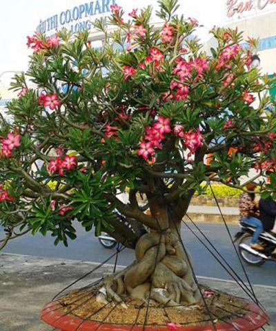Cây Hoa Sứ Đỏ