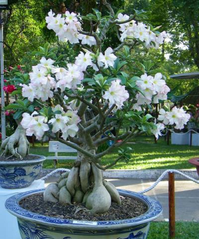Cây Hoa Sứ Trắng