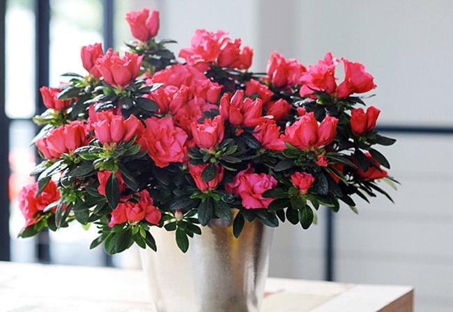 Kết quả hình ảnh cho cay hoa do quyen